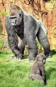 gorilla_los_angeles_zoo Revised